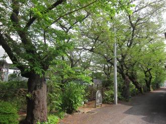 ソメイヨシノの散った渋川