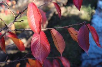 紅葉したソメイヨシノ