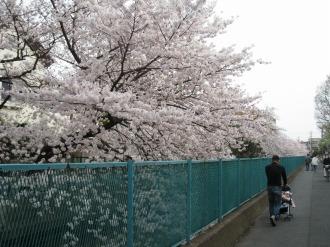 法政二中・高付近のソメイヨシノの開花(過去)