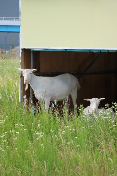 小屋でお休み中のヤギたち