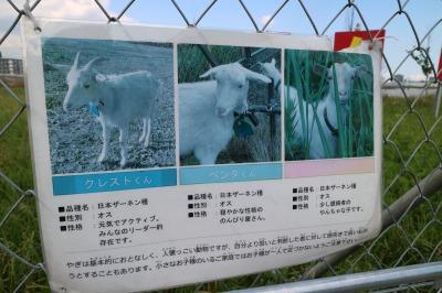 ヤギの紹介