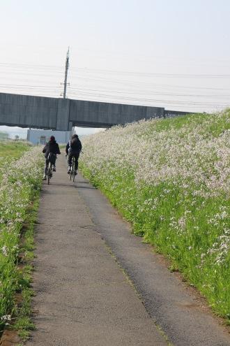 河川敷のサイクリングロードとハマダイコン