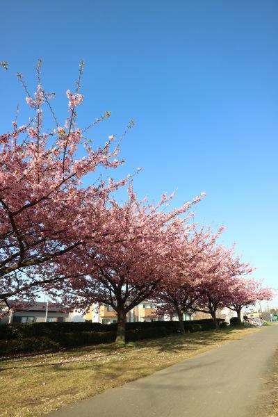 多摩川土手の河津桜