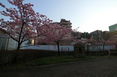 丸子橋公園の河津桜