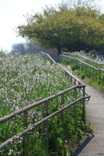 同時期に咲き始めたハマダイコン