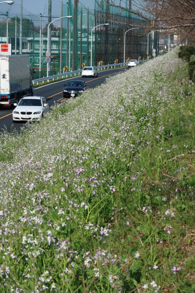 土手の南側に咲いたハマダイコン