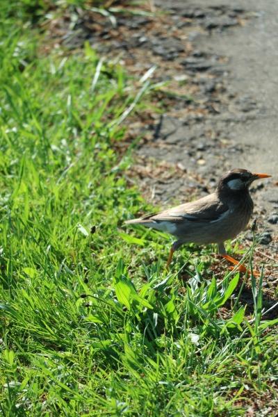 新緑の中を歩く野鳥