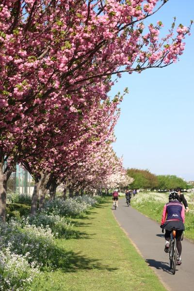 見ごろになった八重桜