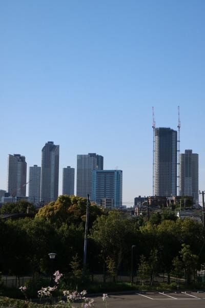 八重桜のエリアから見える、武蔵小杉の高層ビル群