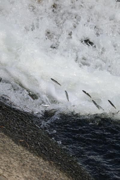 調布取水堰を遡上するアユ