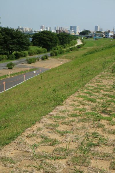 堤防に張られた芝生