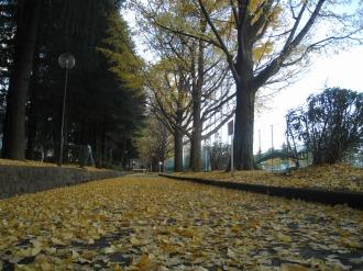 テニスコート側のイチョウ並木(南側)