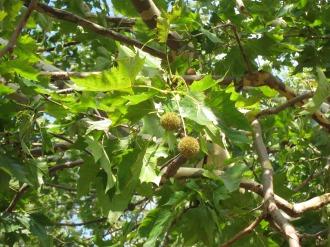 枝先のプラタナスの実
