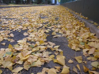 アスファルトに散ったイチョウの葉