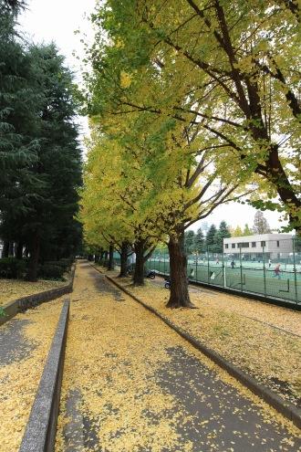 昼間のテニスコート裏の黄葉