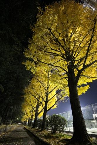 ライトアップされた夜間の黄葉