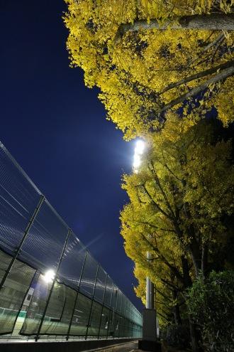 金色に輝く黄葉