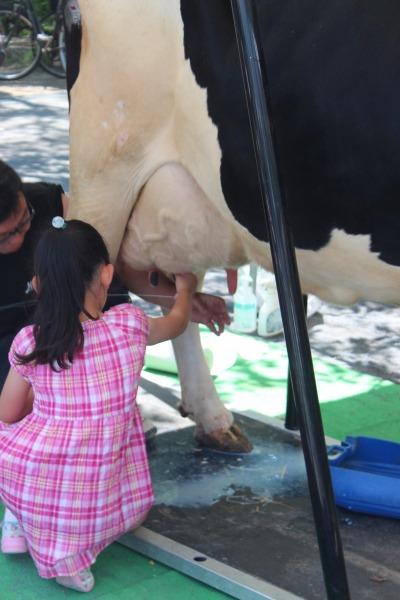 牛の乳搾り体験