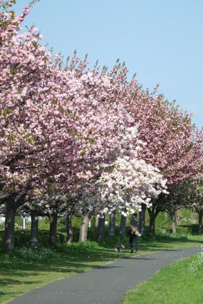 多摩川土手の八重桜