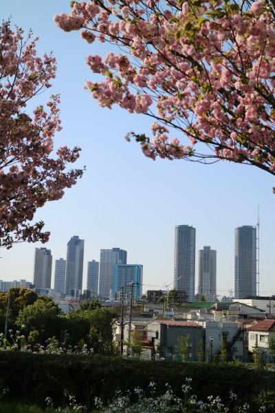 八重桜と武蔵小杉のタワーマンション
