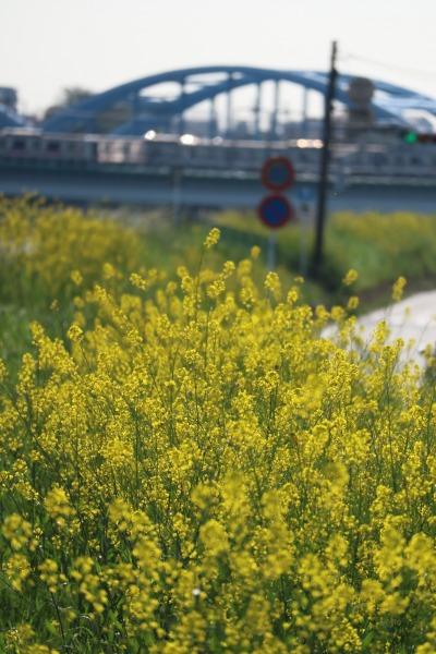 菜の花と丸子橋