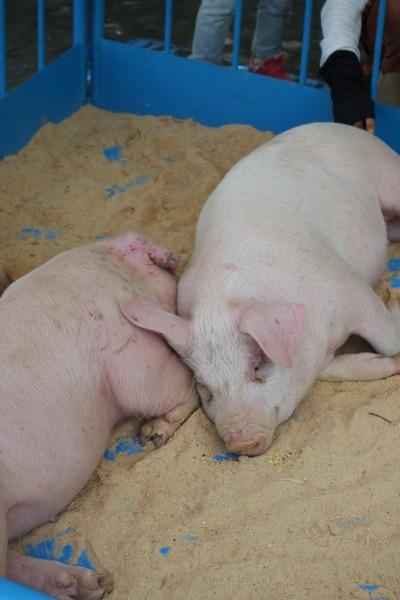 家畜の展示:豚