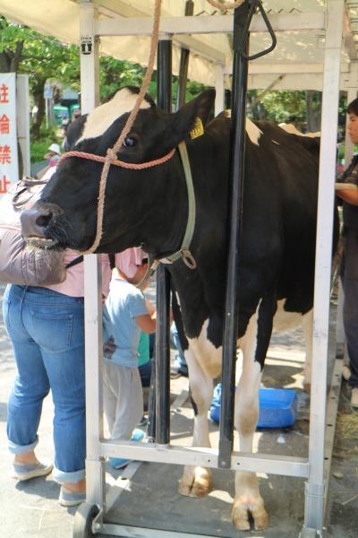 家畜の展示:乳牛