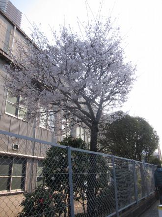 第一工場のソメイヨシノ、最後の開花(伐採前)