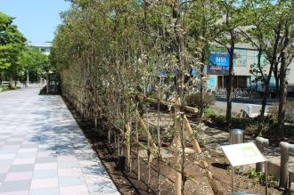 武蔵小杉タワープレイス東側の街路樹(以前)