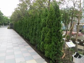 武蔵小杉タワープレイス東側の街路樹(現在)