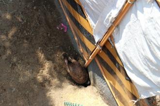 巣穴を出入りするウサギ