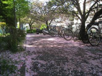 二ヶ領用水の八重桜・その後