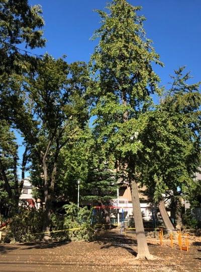 下沼部公園の倒木