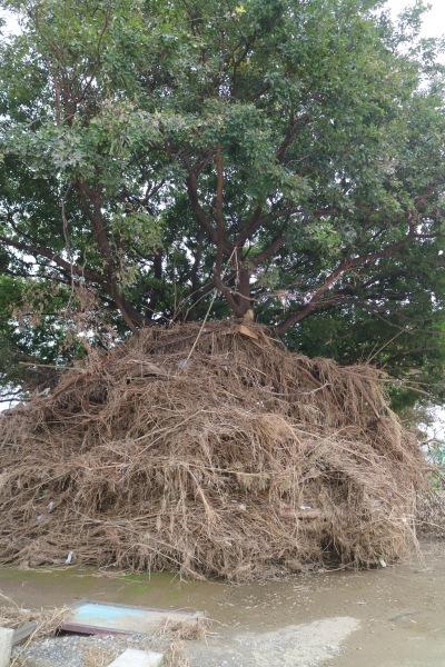 河川敷の木に引っかかった草