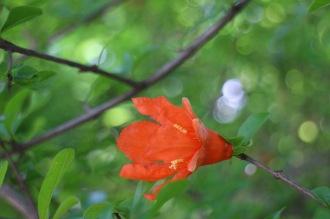 つぼみの先端が割れて、開花