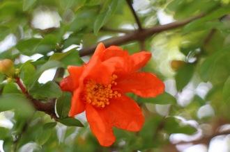 つぼみの先が割れて、開花