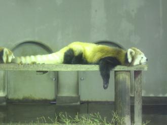 お休み中のレッサーパンダ